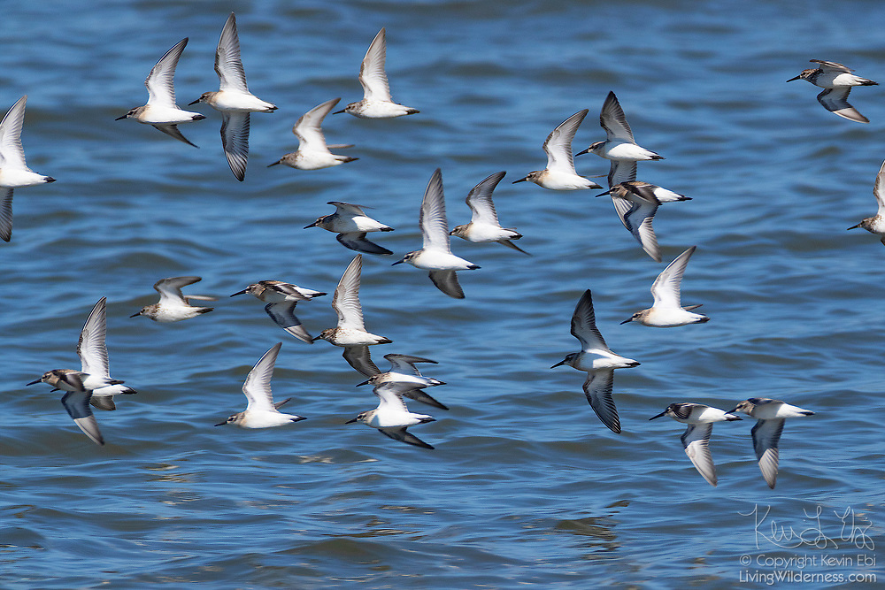 A flock of least sandpipers (Calidris minutilla) fly in formation over the water of Possession Sound near Everett, Washington.
