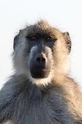 Portrait of a yellow baboon, Papio hamadryas cynocephalus.