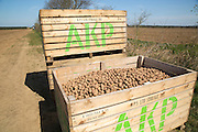 Boxes of seed potatoes ready to be planted in fields, Sutton, Suffolk, England, UK