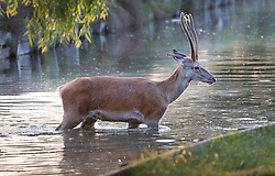 © Licensed to London News Pictures. 24/06/2020. London, UK. A young deer swims in a stream at first light in Bushy Park, south west London. High temperatures and sunshine are expected in most of the UK over the next few days. Photo credit: Peter Macdiarmid/LNP