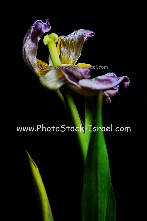 close up of a Wilted red Tulip on a stem