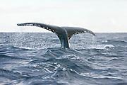 The fluke of a humpback whale (Megaptera novaeangliae) as it dives beneath the boat