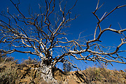 Wild Olive tree<br /> Private game ranch<br /> Great Karoo<br /> SOUTH AFRICA