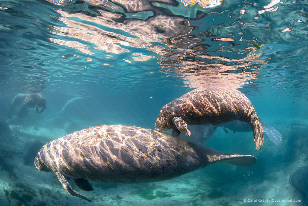 """A rotund male manatee calf swims above his mother while she guides him into the warm springs. Calves often swim above (or below) their moms while keeping tactile contact. The strong Florida sunlight feels good to the pair and is not too bright as manatee eyesight is poor. They """"feel"""" their world with many body hairs. This is a recent image from March 2018. Florida manatee, Trichechus manatus latirostris, a subspecies of the West Indian manatee, endangered. Three Sisters Springs, Crystal River National Wildlife Refuge, Kings Bay, Crystal River, Citrus County, Florida USA. IUCN Red List: Endangered. USFWS implemented downlisting to Threatened 2017: http://www.iucnredlist.org/details/22106/0. Taken under USFWS SUP Permit"""
