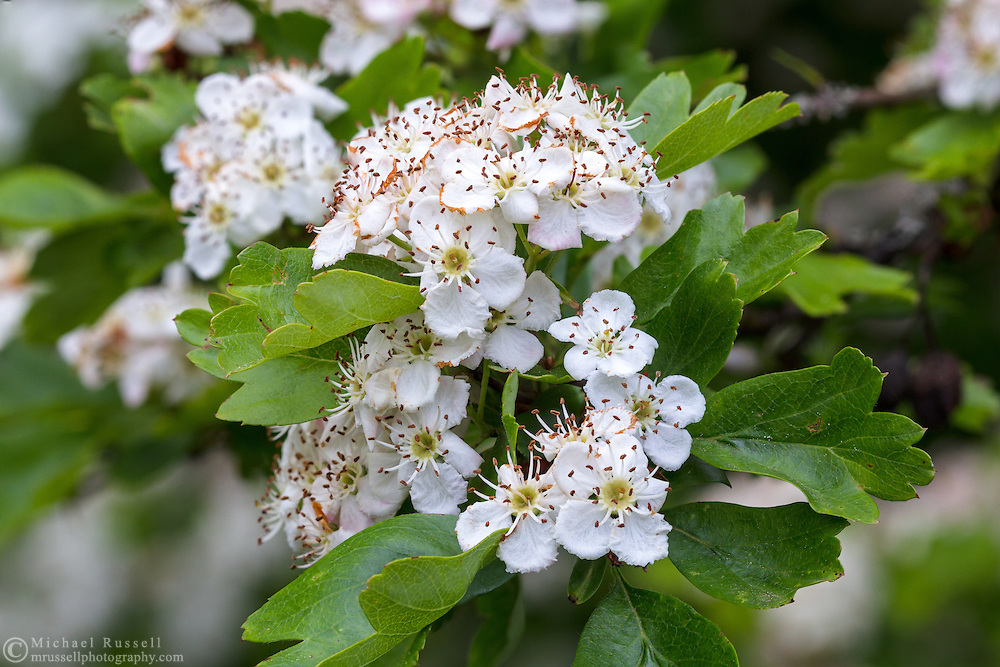 Hawthorn (Crataegus monogyna) blooming in the spring in the Fraser Valley of British Columbia, Canada