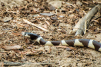 Side image of the California kingsnake showing the distinct black and white bands of this native colubrid. These markings have made it a prized species for the pet trade world-wide.