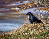 Raven in Rocky Mountain National Park.Image taken with a Nikon D300 camera and 80-400 mm VR lens (ISO 200, 400 mm, f/8, 1/500 sec).
