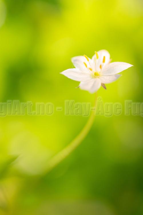 Arctic starflower (Trientalis europæa) | Skogsstjerne