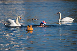 © Licensed to London News Pictures. 13/06/2021. London, UK. A swan defending its cygnet aggressively approaches a swimmer in the Serpentine Lake in Hyde Park central London on a hot summer's day. Temperatures in the capital are expected to reach a high for the year. Photo credit: Ben Cawthra/LNP