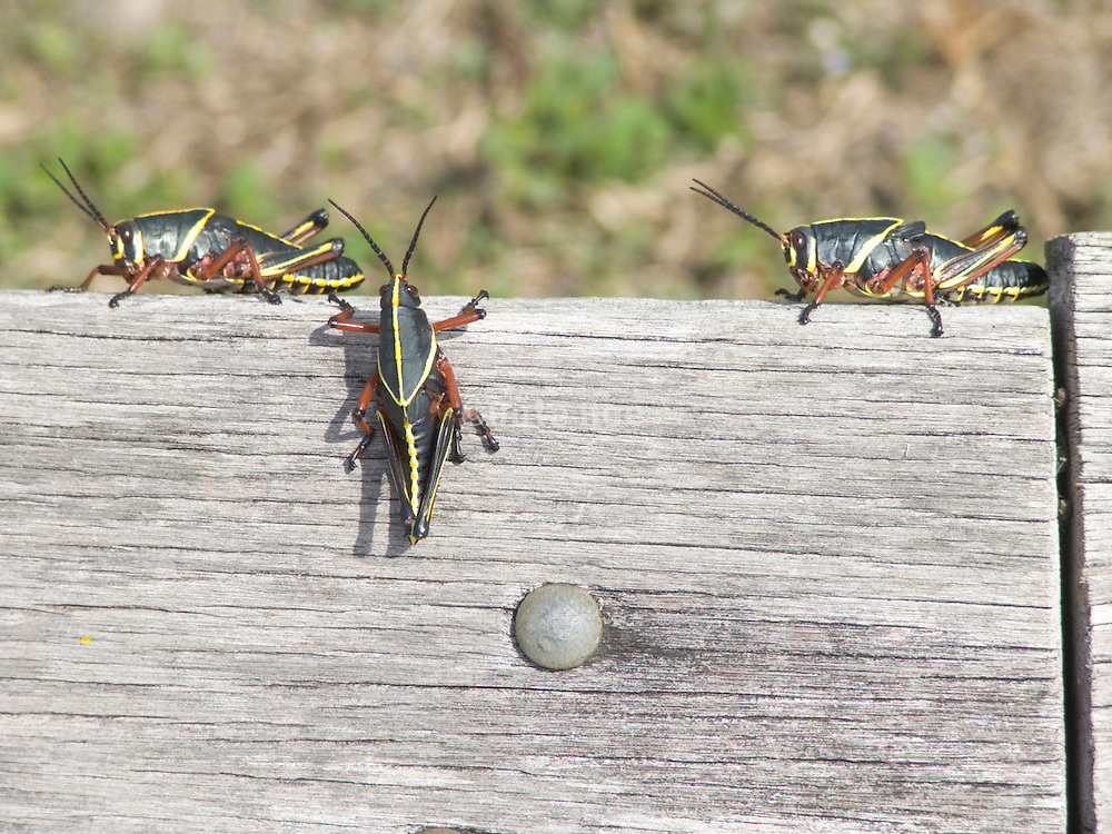 Lubber grasshoppers sitting on a piece of wood