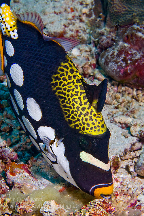 A clown triggerfish (Balistoides conspicillum) tends to her egg mass.  Triggerfish usually deposit thousands of eggs and carefully tend to them until hatching.  Blowing fresh sea water onto the eggs helps to maintain the eggs by removing unwanted material that may settle around the egg cases