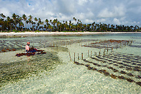Tanzanie, archipel de Zanzibar, île de Unguja (Zanzibar), collecte des algues a Jambiani  // Tanzania, Zanzibar island, Unguja, alga harvesting at one of the underwater farms, Jambiani