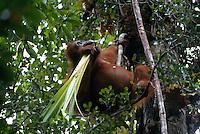A Bornean orangutan (Pongo pygmaeus) named Beth chews on the fronds of a Pandanus plant