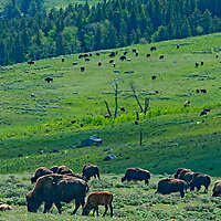 American Bison (Bison bison) graze in  Yellowstone National Park, Wyoming.
