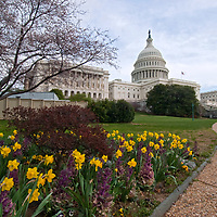 A man walks past the U.S. Capitol building, blooming cherry trees and spring garden flowers in Washington, D.C.