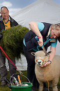 Hillary Mattinson is the owner of Nettlesyke Kerryn, a shearling one-year-old Ryeland ewe. Nettlesyke Kerryn was named Champion Female Ryeland and has  won a couple of other classes. Her husband, Alan, a long-distance lorry driver, helps with the sheep and goes to shows with her, (they stay in their 'old dilapidated caravan'). 'I remember one year it rained the day before and the sheep were outside. We were up till 3am trying to get them dry,' Hillary says. The Great Yorkshire Show, one of Britain's biggest agricultural shows, is famous for its competitive displays of livestock. The event, established in 1837, attracts over 125 000 visitors a year and has over 10 000 entries to its pedigree competitions ranging from pigeons and rabbits to bulls and shire horses.