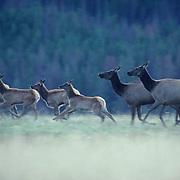 Elk, (Cervus elaphus) Herd of cows and calves, spooked, running through meadow.