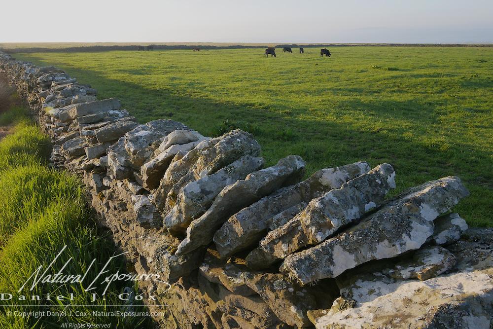 Cattle grazing on the Irish landscape, Ireland