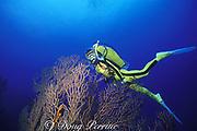 diver and deepwater gorgonian, Iciligorgia schrammi, Hol Chan Marine Reserve, Ambergris Caye, Belize, Central America ( Caribbean Sea ) MR 106
