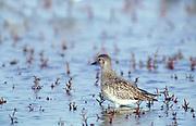 Grey Plover, Pluvialis squatarola, feeding in muddy estuaries, water. United Kingdom. Nature. Wildlife. Animal. Behaviour. Birds. Birds. p-bir420-2. Dennis Johnson. www.papiliophotos.com  Tel: +44 (0)1227 360996. PLEASE READ OUR LICENCE TERMS. ALL DIGITAL