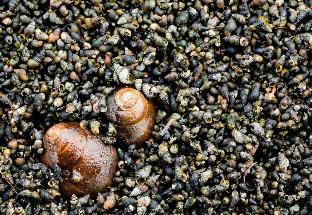 30.04.2009<br /> Snail, food for waders<br /> Grossmorsum, Sylt, Germany