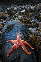 Starfish, (Asteroidea). Playa Dail Beag Beach. Lewis Island. Outer Hebrides. Scotland, UK