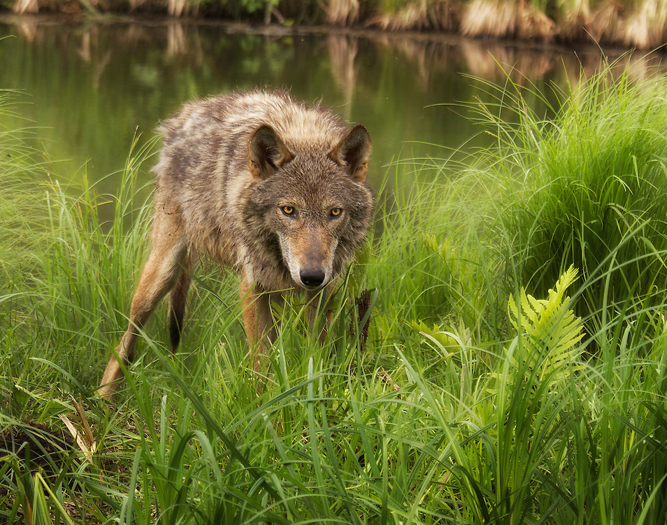 """Adult coyote peering through tall grass.<br /> <br /> Available sizes:<br /> 12"""" x 18"""" print <br /> 12"""" x 18"""" gallery wrap<br /> <br /> See Pricing page for more information. Please contact me for custom sizes and print options including canvas wraps, metal prints, assorted paper options, etc. <br /> <br /> I enjoy working with buyers to help them with all their home and commercial wall art needs."""
