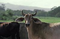 Vacas en hacienda, Estado Lara, Venezuela