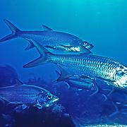 Tarpon inhabit open areas around reefs in Tropical West Atlantic; picture taken Grand Cayman.