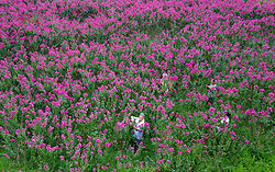 August 29, 2017 - Huaying, China - Peasants are busy harvesting and picking flowers in Huaying, southwest China's Chongqing. The flower planting industry improves the income of local people. (Credit Image: © SIPA Asia via ZUMA Wire)