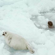 Harp Seal, (Pagophilus groenlandicus) Pup near hole in ice on ice pack. Mother pops head up and checks on pup.  Nova Scotia. Canada. Spring.