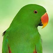 Eclectus Parrot (Eclectus roratus) in a  bird park.  This parrot ranges in Indonesia,  New Guinea,  and Australia.