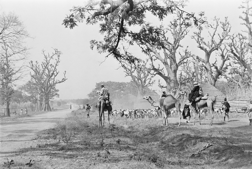 Tauregs on Camels, Zaria, Nigeria, Africa, 1937