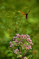 Monarch Butterfly Flying Away From a Milkweed Bloom. Summer in the Sourland Mountain Preserve in New Jersey. Image taken with a Nikon D800 and 300 mm f/2.8 VR lens (ISO 100, 300 mm, f/2.8, 1/1600 sec).