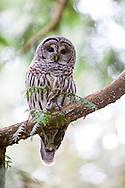 A barred owl sitting on a branch of a cedar tree in Marquam Park in Portland, Oregon