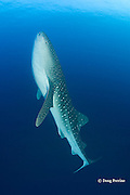 whale shark, Rhincodon typus, rises toward the surface in anticipation of fish spawn (fish eggs will also float toward surface); Gladden Spit & Silk Cayes Marine Reserve, off Placencia, Belize, Central America ( Caribbean )