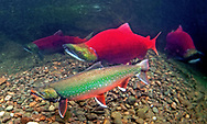 Dolly Varden (with Sockeye Salmon)<br /> <br /> Patrick Clayton/Engbretson Underwater Photography