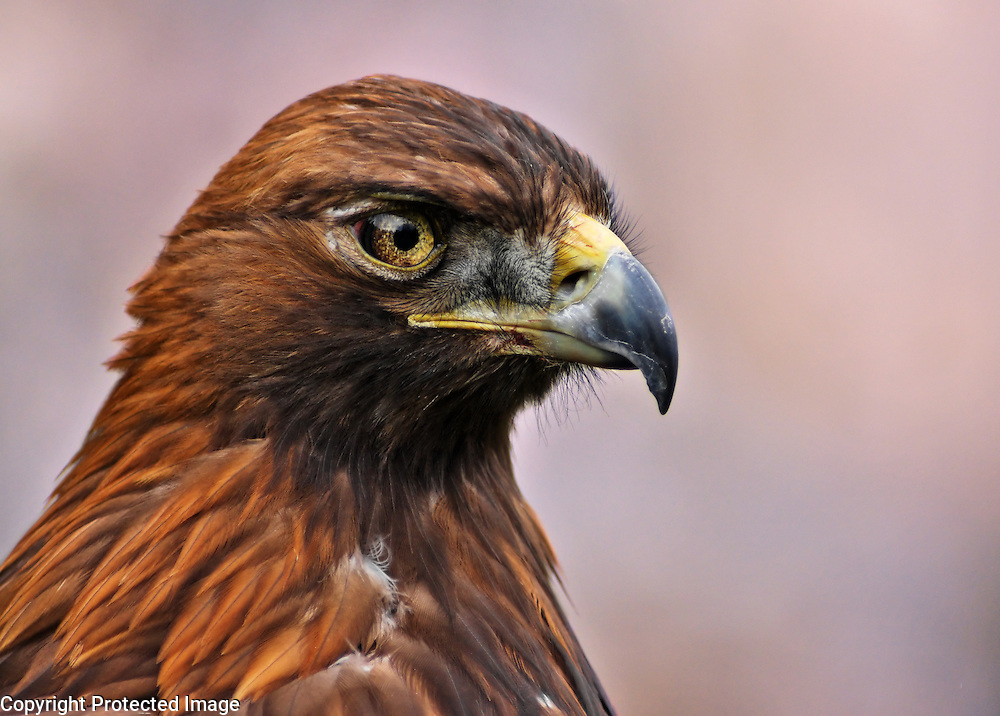 A close-up Portrait of a Golden Eaglein the Cairngorms National Park in Scotland