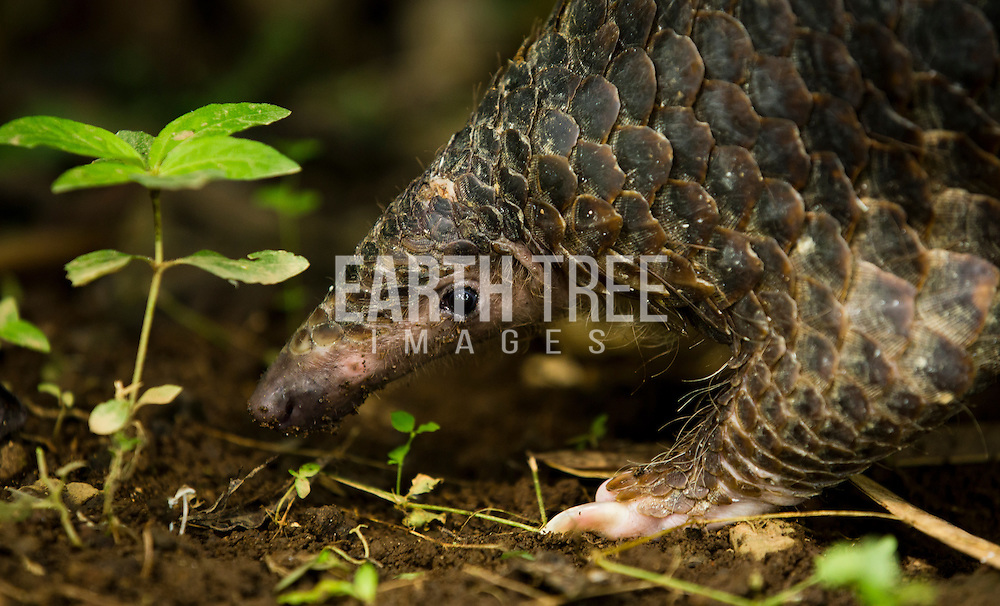 A wild Sunda Pangolin sweeping forest floor for food.