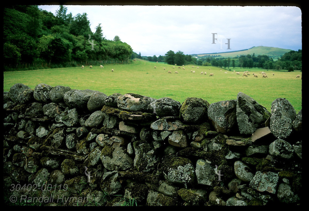 Moss-covered drystone wall borders pasture filled with distant sheep on a summer day; Crieff. Scotland