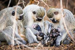 Vervet Monkey Family of Kruger Natonal Park
