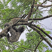 South America, Brazil, Amazon. Three-toed sloth in the trees of the Amazon Rainforest.