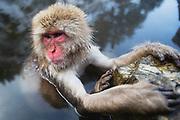 A close-up portrait of a snow monkey (Macaca fuscata) sitting in a steamy hot spring, Jigokudani, Yamanouchi, Japan