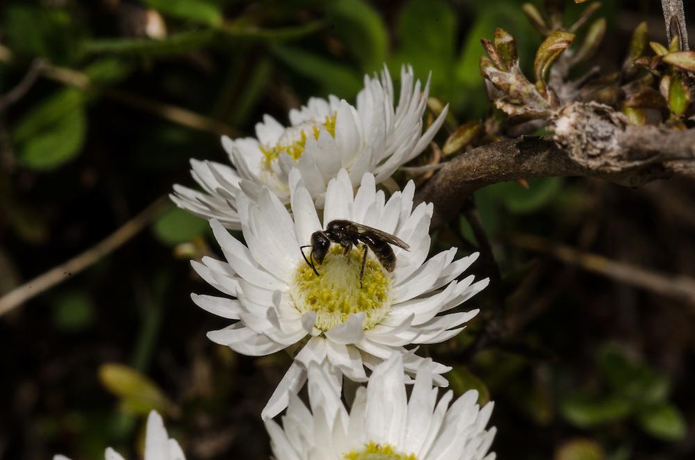 Everlasting daisy, Anaphalioides bellidioides, unknown ??
