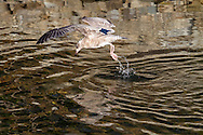 A juvenile Herring Gull (Larus argentatus) diving for a salmon carcass at the bottom of the Stave River in Mission, British Columbia, Canada