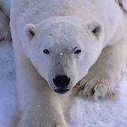Polar Bear, (Ursus maritimus)  Portrait of large male resting. Cape Churchill, Manitoba. Canada.