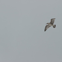 An unidentified bird flies over Neko Harbor, Antarctica.
