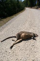 Dead Wallaby