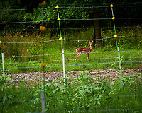 Young Fawn outside the electric fence. Image taken with a Nikon D850 camera and 105 mm f/2.8 VR macro lens