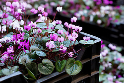 Cyclamen coum for sale at Green Ice Nursery, Holland